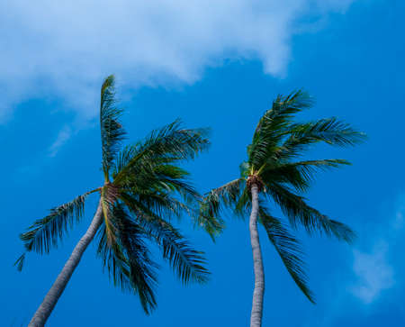 Coconut with beautiful blue sky photo