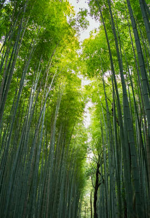 Bamboo Forest In Arashiyama Kyoto Japan Stock Photo Picture And