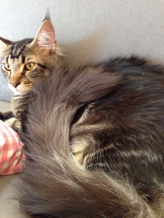 pillows: Mainecoon cat staring