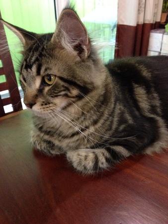 eye: Mainecoon cat