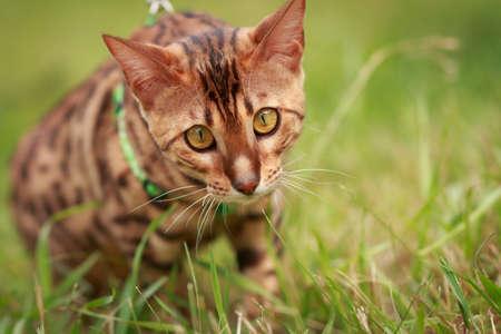 surroundings: A single bengal cat in natural surroundings portrait