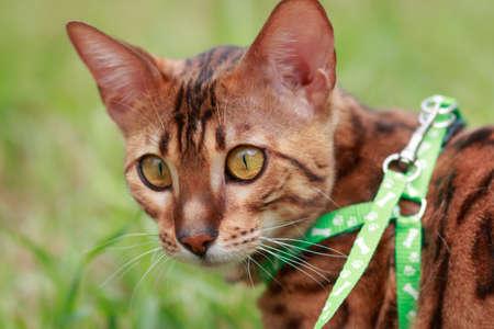 surroundings: A single bengal cat in natural surroundings closeup