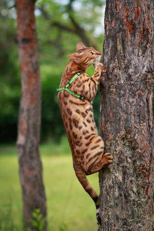 surroundings: A single bengal cat in natural surroundings climbing a tree Stock Photo