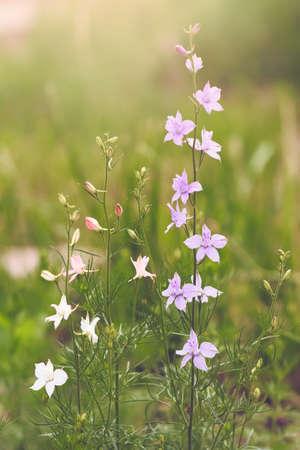 fields of flowers: Purple bluebell on flower background