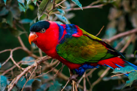 pecker: Portrait of A single Tricolor Parrot, Lorius Lory, in natural surroundings