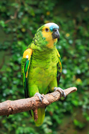 Single Blue-Fronted Amazon Parrot (Amazona aestiva) sitting on a tree branch