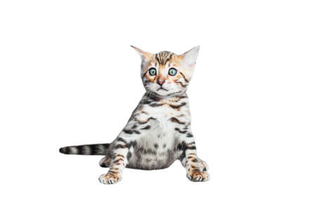 striping: Single bengal cat isolated on white background