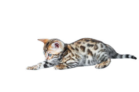 striping: Single playful brown spotted bengal kitten isolated on white background