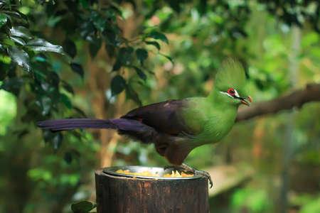 pecker: Guinea turaco (Tauraco persa), also known as the green turaco closeup