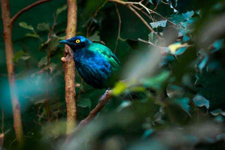 superb: superb starling (Lamprotornis superbus) closeup