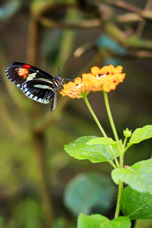 Single Red Postman Butterfly or Common Postman (Heliconius melpomene) perched on a yellow flower closeup