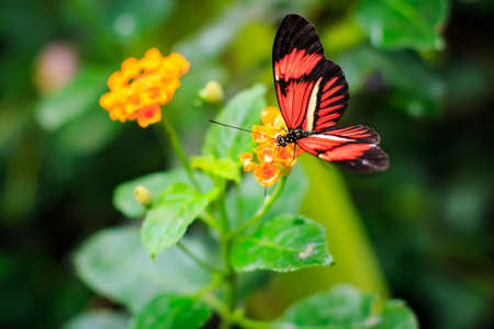 variegated: Single Red Postman Butterfly or Common Postman (Heliconius melpomene) perched on a yellow flower closeup