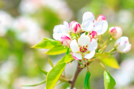 pear tree: Blooming pear tree with flowers on branches closeup, blurry background Stock Photo