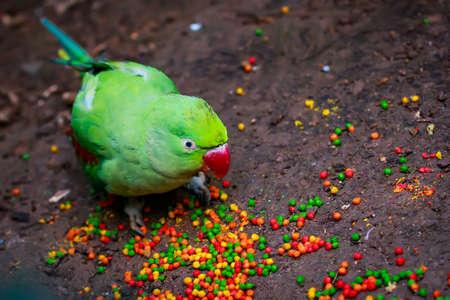 periquito: loro de Alejandría (eupatria Psittacula) eating forraje