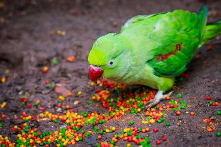 pecker: Alexandrian parrot (Psittacula eupatria) closeup eating fodder