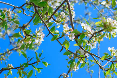 pear tree: Blooming pear tree with flowers on branches against clear sky, view from below Stock Photo
