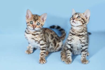 furtive: Two adorable brown spotted bengal kittens on neutral blue background