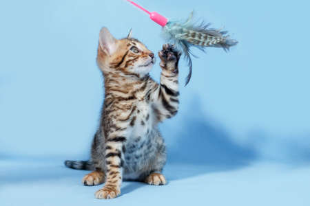 furtive: Single playful brown spotted bengal kitten on neutral blue background