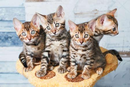 lince rojo: Cuatro gatitos marrones bengala manchados adorables que se sientan en un soporte