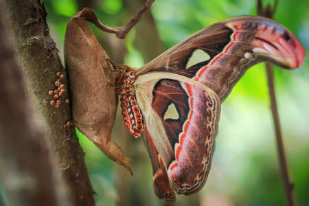 atlas: Atlas moth (attacus atlas) sitting on its cocoon closeup Stock Photo