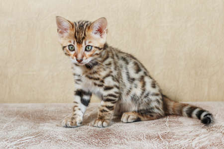 furtive: Single adorable brown spotted bengal kitten on neutral background Stock Photo