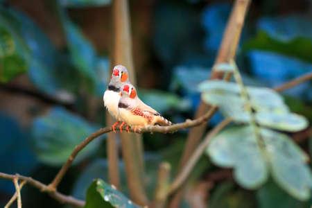 finch: Zebra finch couple (Taeniopygia guttata) sitting on a branch