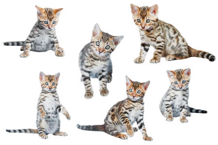 the lynx: Cute Bengal Kittens in different poses isolated on white background collection Stock Photo