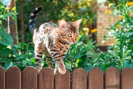 lince rojo: Gatito de Bengala solo al aire libre en una valla de madera, de cerca