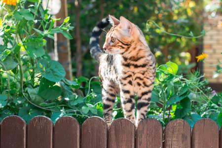 lince rojo: Bengala gatito solo al aire libre en un primer de la cerca de madera Foto de archivo