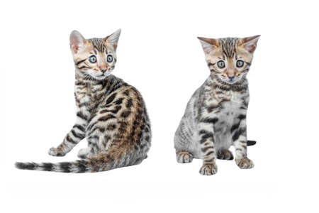 Adorable Bengal Kittens isolated on white background collection