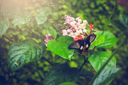 variegated: Butterfly Papilio rumanzovia perched on a flower