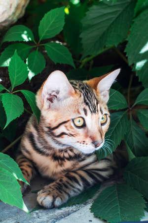 lince rojo: gatito de Bengala solo al aire libre que miran a escondidas de las hojas verdes
