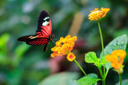 Single Red Postman Butterfly or Common Postman (Heliconius melpomene)