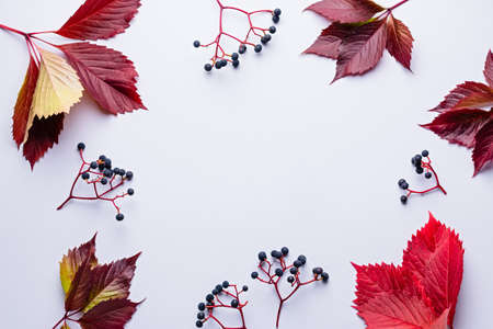 Autumn composition with wild grape and red leaves on light grey background. Fall, thanksgiving concept, copy space Stock Photo