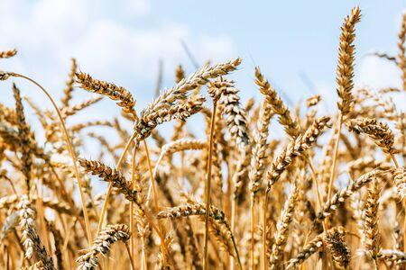 Harvest time, rural landscape with beautiful wheat field Standard-Bild