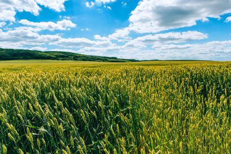Agrarindustrie. Weizenfeld . grüne Wiese mit Weizenähren im Sommer
