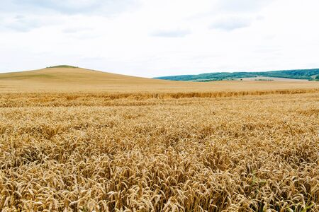 Wheat harvest. Fields of ripe wheat. Agrarian industry