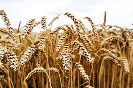 Agrarian industry. Harvest time. Fields of ripe wheat