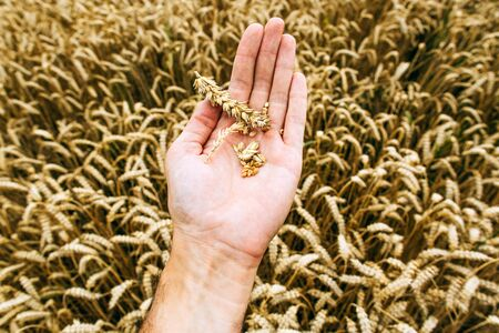 Agrarian industry. Harvest time. Grains of ripe wheat in the hands of a farmer Zdjęcie Seryjne - 140463343