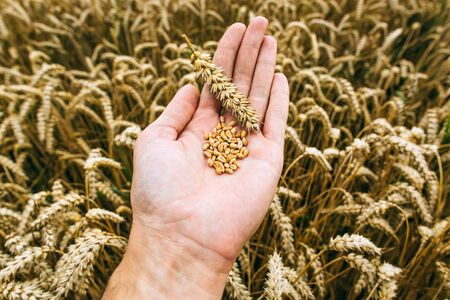 Agrarian industry. Harvest time. Grains of ripe wheat in the hands of a man
