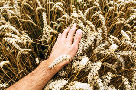 Agrarian industry. Harvest time. Grains of ripe wheat in the hands of a farmer