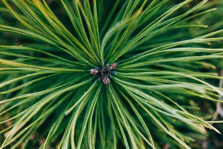 Green background. Branch of green pine in the forest