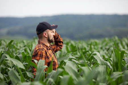 A farmer stands in a field and inspects a green corn plantation. Agricultural industry