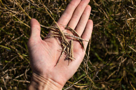 A farmer holds pods of dried ripe rape in his hand. Harvest concept