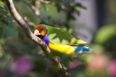 finch: Lady Gouldian Finch - Erythrura gouldiae