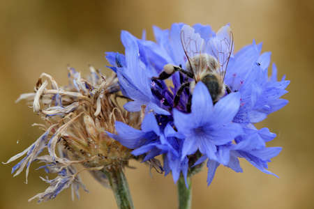 Cornflower & Bee photo