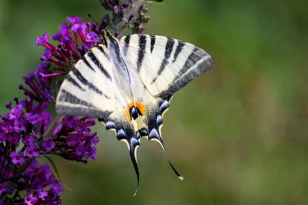 salt free: Butterfly