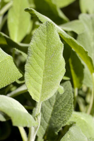 Leafs of sage Stock Photo - 7391934