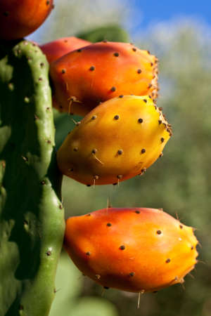 Prickly pears on cactus  photo