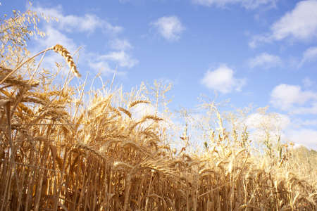 Cornfield Stock Photo - 9567482